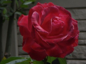 One of the red roses